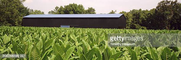 field of tobacco, drying barn in background, summer - timothy hearsum stock pictures, royalty-free photos & images
