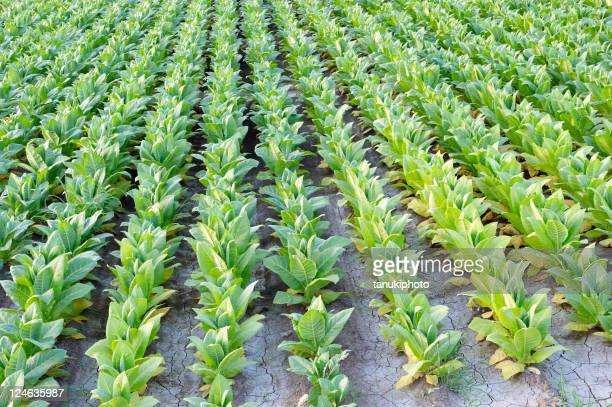 field of tobacco