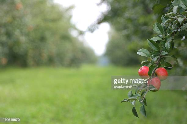 Field of tress with apples on it