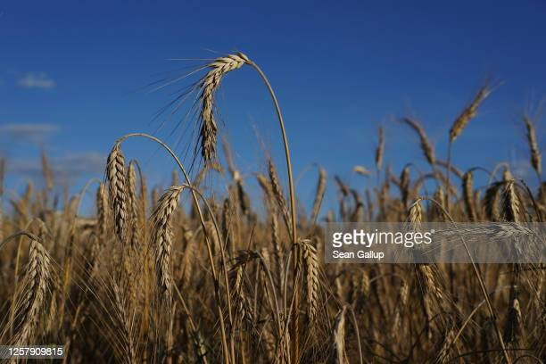 Field of triticale, a hybrid plant derived from wheat and rye used for animal feed, stands during harvest on July 23, 2020 near Haesen, Germany. The...