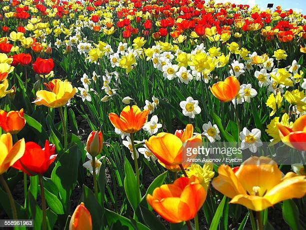 field of tulips and daffodils - tulips and daffodils stock pictures, royalty-free photos & images