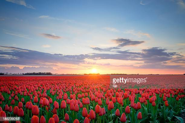 Field of Tulips in HDR