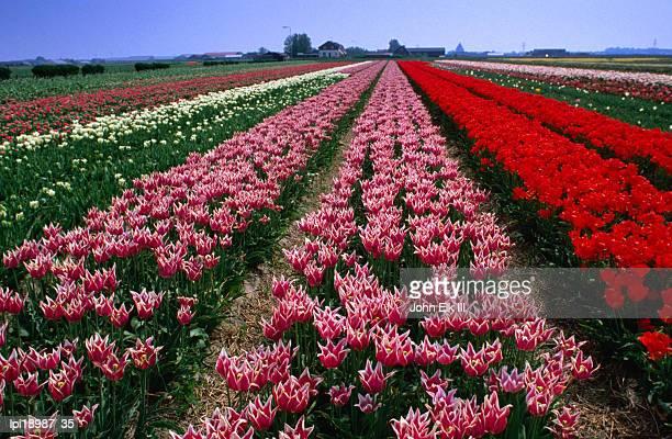 Field of tulips, Leiden, Netherlands