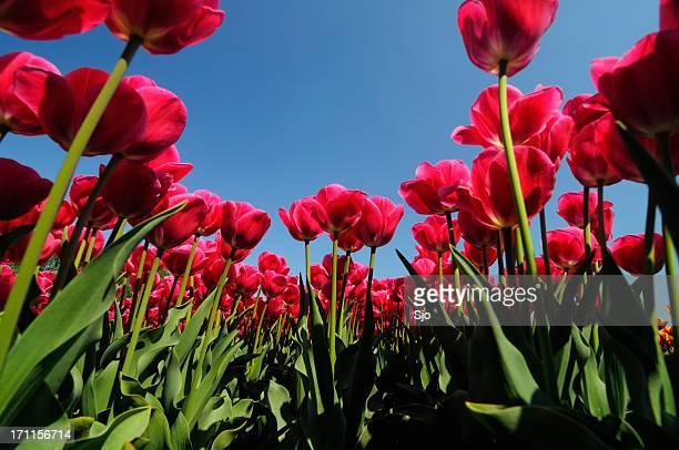 """campo de tulipas - """"sjoerd van der wal"""" or """"sjo"""" - fotografias e filmes do acervo"""