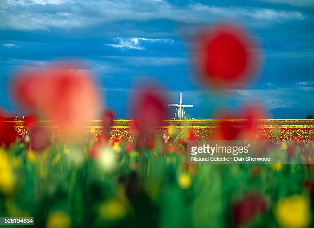 Field of Tulips With Windmill