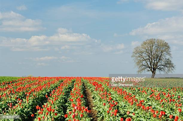 field of tulips, wooden shoe tulip farm, oregon, usa - dan sherwood photography stock pictures, royalty-free photos & images