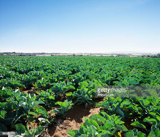 Field of vegetables at farm