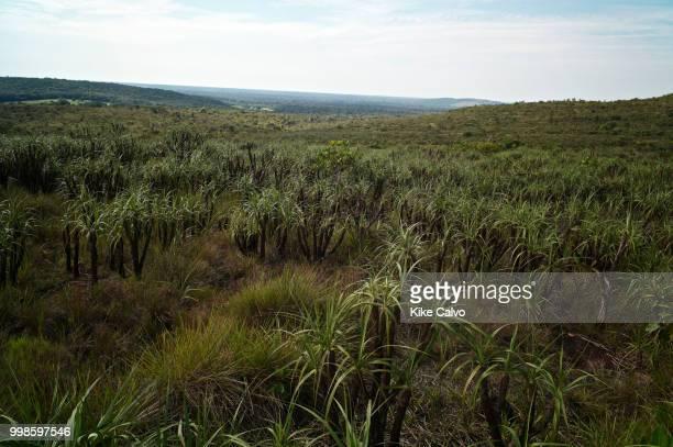 Field of Vellozia tubiflora, an endemic plant of Sierra de la Macarena National Park.