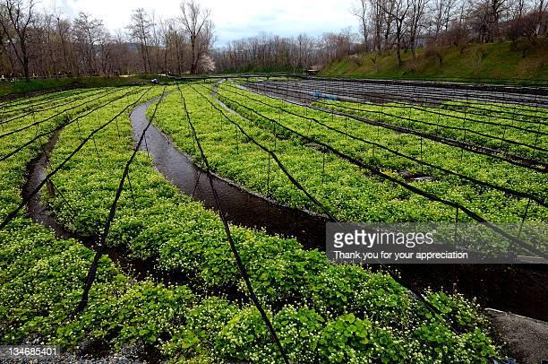 Field of wasabi