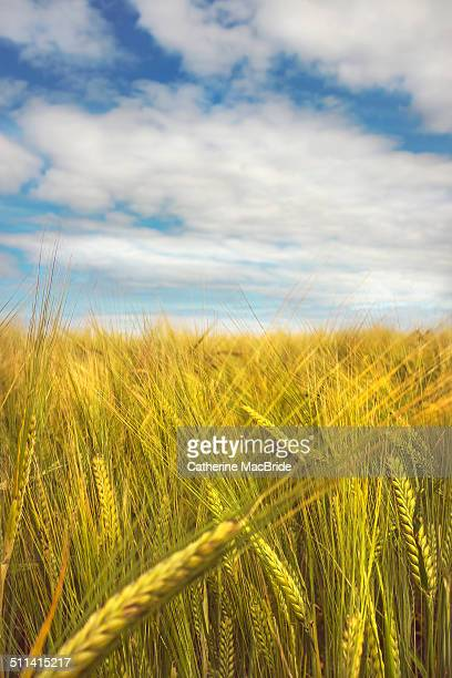 field of wheat and blue sky. - catherine macbride stockfoto's en -beelden