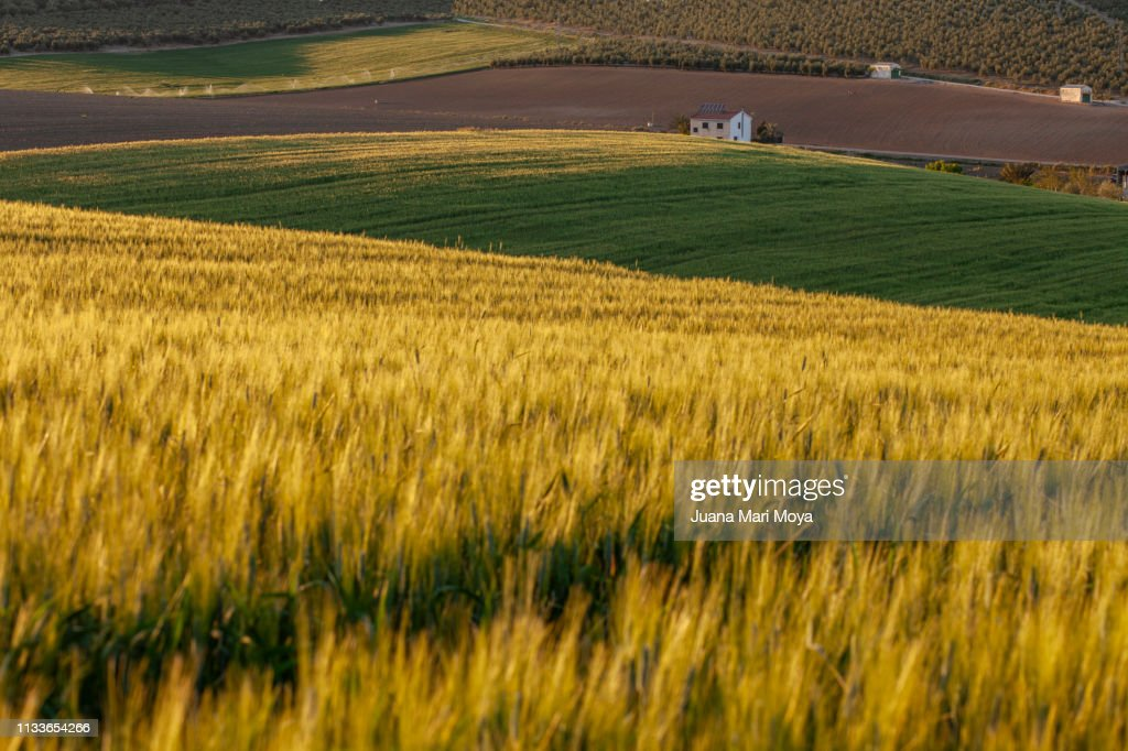 Field Of Wheat At Sunset With Various Shades Of Green And Yellow Jaen Andalusia Spain High Res Stock Photo Getty Images,Delta Airlines Baggage Fees Military Dependents