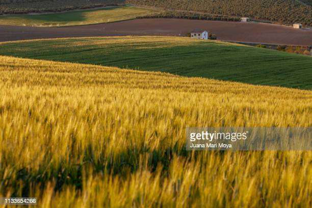 field of wheat, at sunset with various shades of green and yellow.  jaen.  andalusia.  spain - frescura ストックフォトと画像