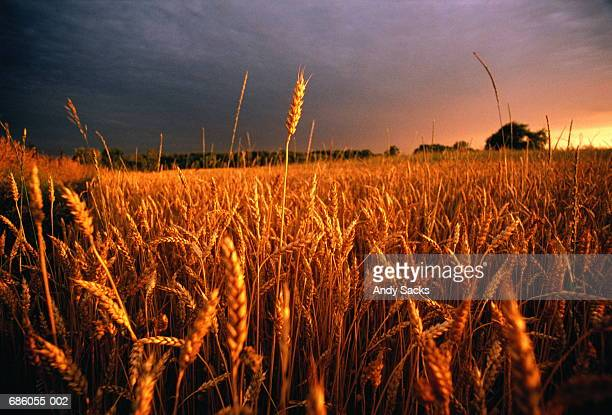 Field of wheat (Triticum sp.) in late afternoon sunlight