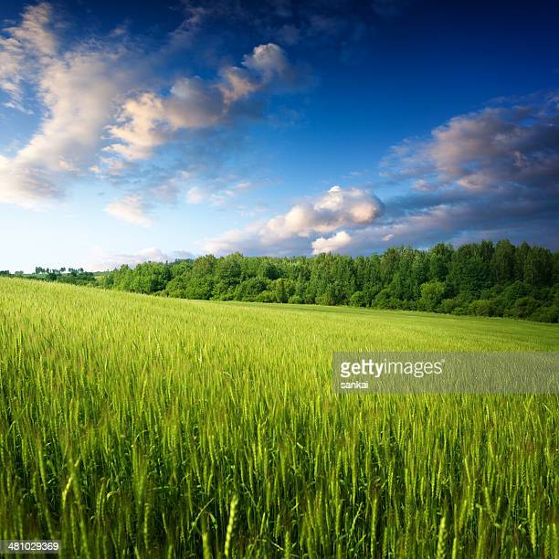 Field of wheat in the morning, beautiful landscape.