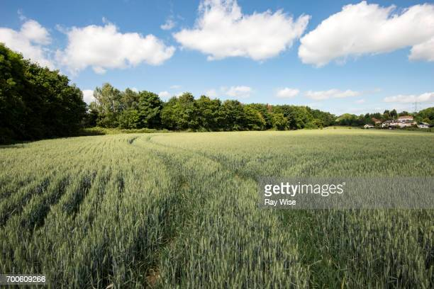 Field of Wheat near Epping forest in Essex, England.