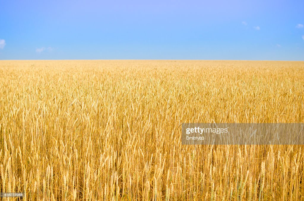 Field of wheat. : Stock Photo