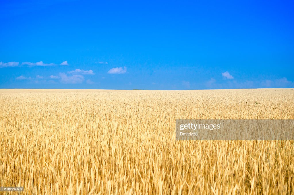 Field of wheat. : Stock Photo
