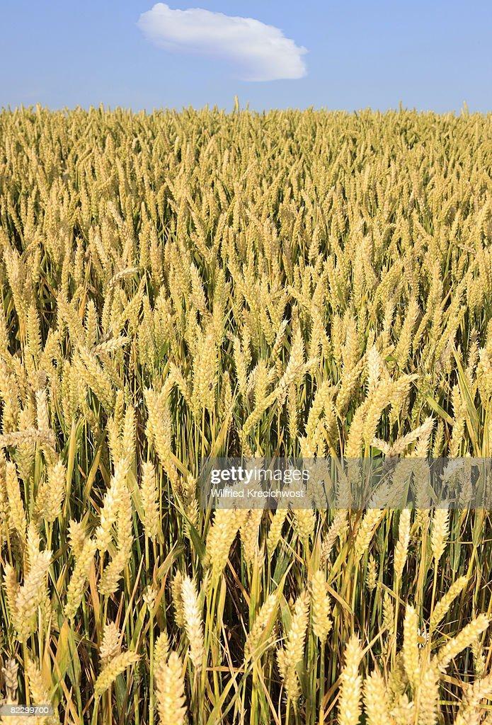 field of wheat : Stock-Foto