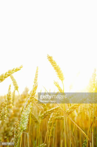 field of wheat - richard drury stock pictures, royalty-free photos & images