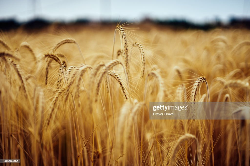 A field of wheat. : Stock Photo
