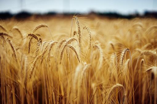 A field of wheat. - gettyimageskorea