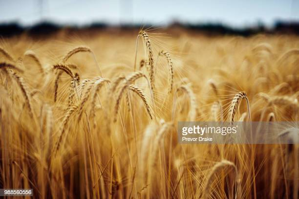 a field of wheat. - cereal plant stock pictures, royalty-free photos & images