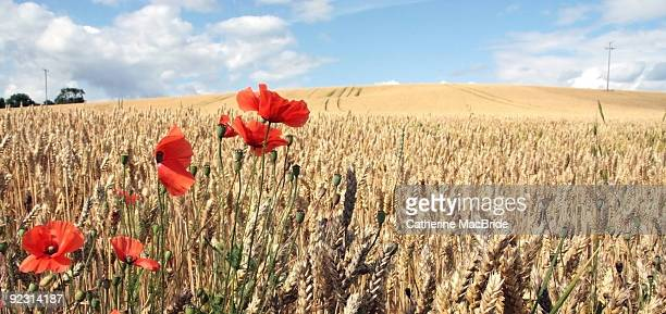 field of wheat with poppies - catherine macbride stockfoto's en -beelden