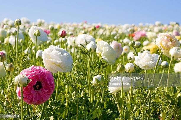 field of white and pink flowers - carlsbad california stock pictures, royalty-free photos & images
