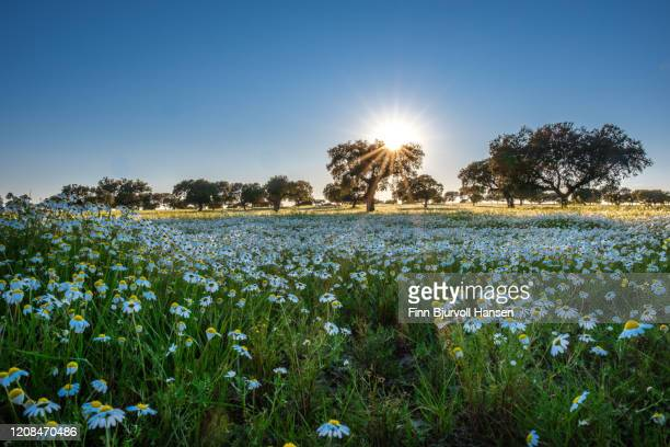 field of  white flowers and olivetrees in the background - finn bjurvoll stock pictures, royalty-free photos & images