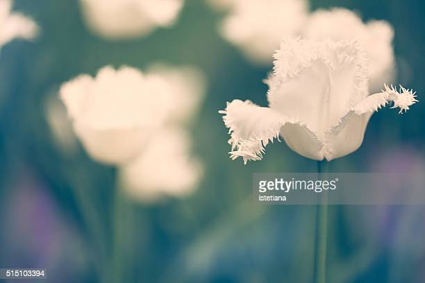 Field of white tulips, single flower in selective  focus