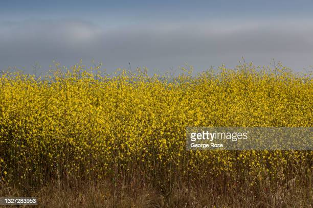 Field of wild mustard is viewed at Estero Bluffs State Park on May 11 near Cayucos, California. Because of its close proximity to Southern California...