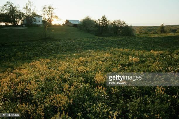 Field of Wild Mustard on an Amish Farm