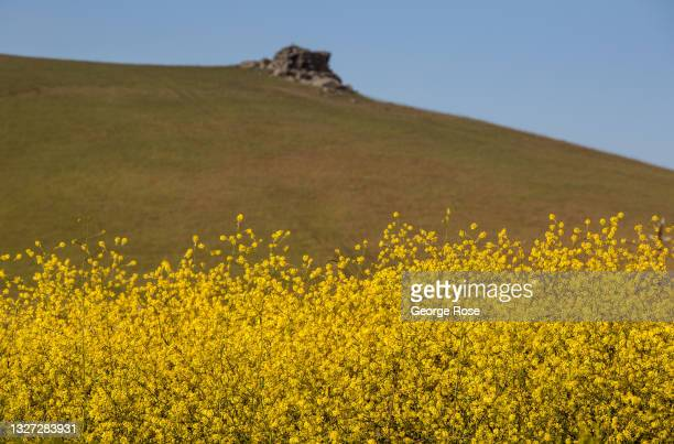 Field of wild mustard surrounds an old barn near Estero Bluffs State Park on May 11 near Cayucos, California. Because of its close proximity to...