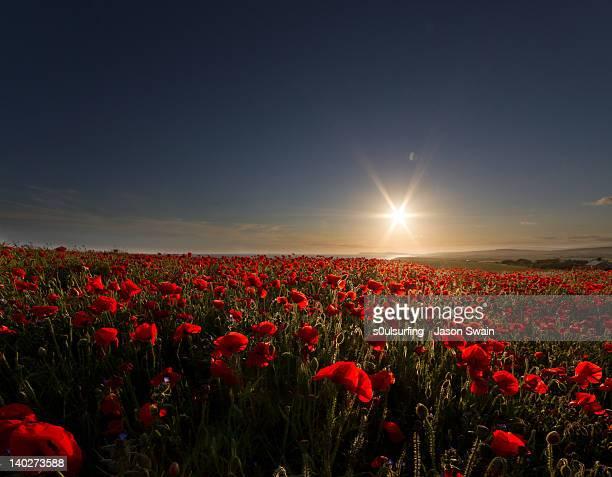 field of wild poppies - s0ulsurfing imagens e fotografias de stock