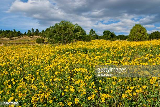 Field of Wild Sunflowers