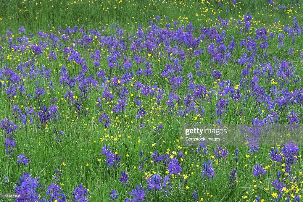 Field of wildflowers : Stockfoto