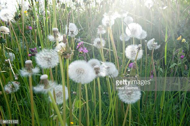 Field of wildflowers with dandelion puffs