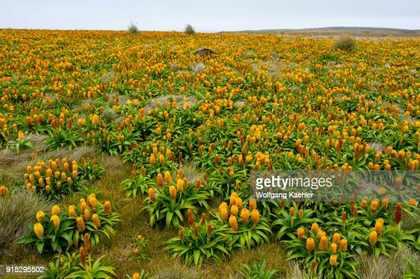 A field of yellow Bulbinella rossii flowers commonly known as the Ross lily on Enderby Island a subAntarctic Island in the Auckland Islands...