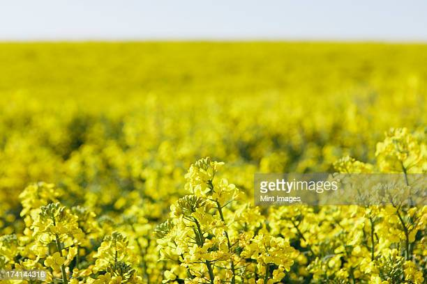 A field of yellow flowering blooming mustard seed plants, in Spring. Pullman in Washington state, USA