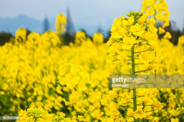 field of yellow flowering oilseed rape - brassica rapa stock photos and pictures