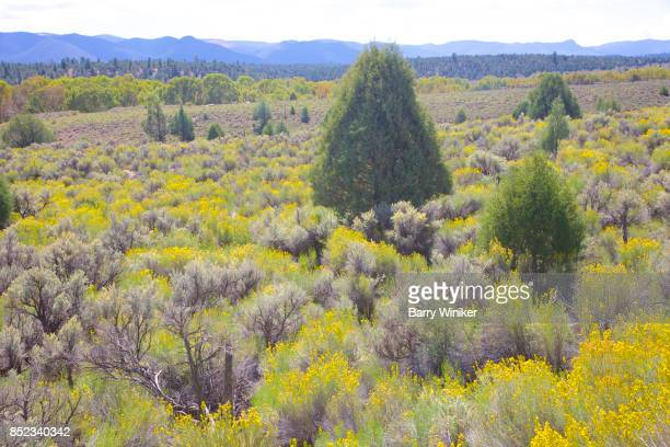 field of yellow, green and black desert flowers and shrubs - sagebrush stock pictures, royalty-free photos & images