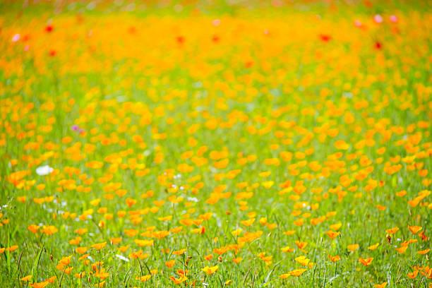 A field of yellow poppies photos photo id 144824725 mightylinksfo