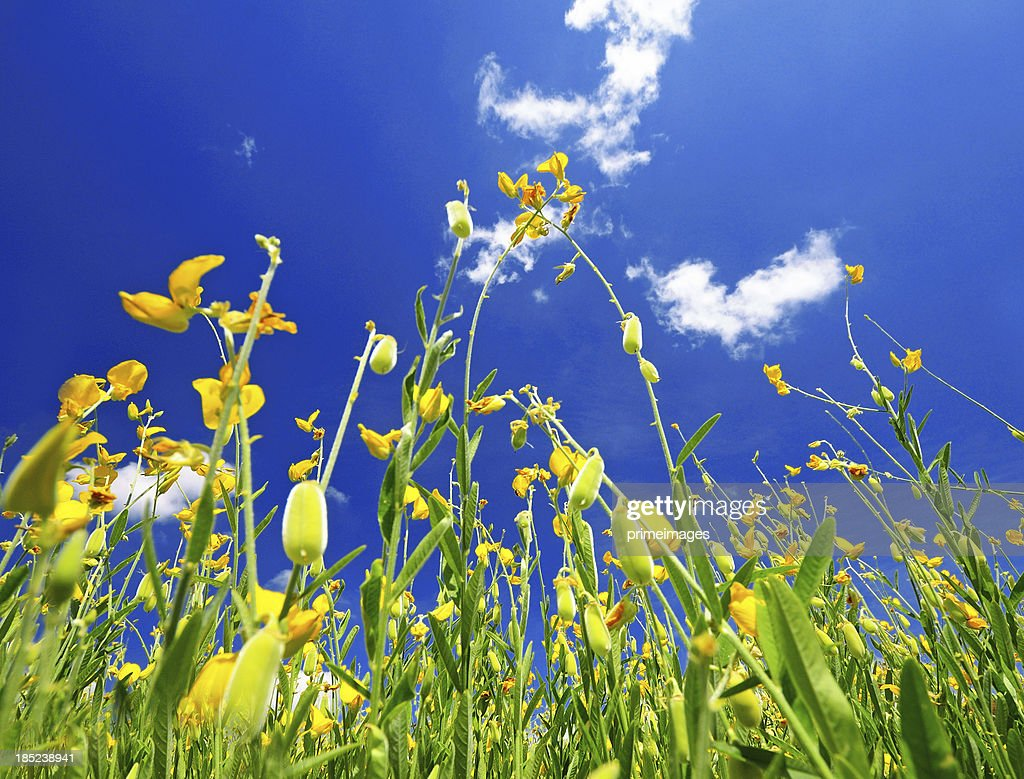 field of yellow rapeseed against the blue sky : Stock Photo