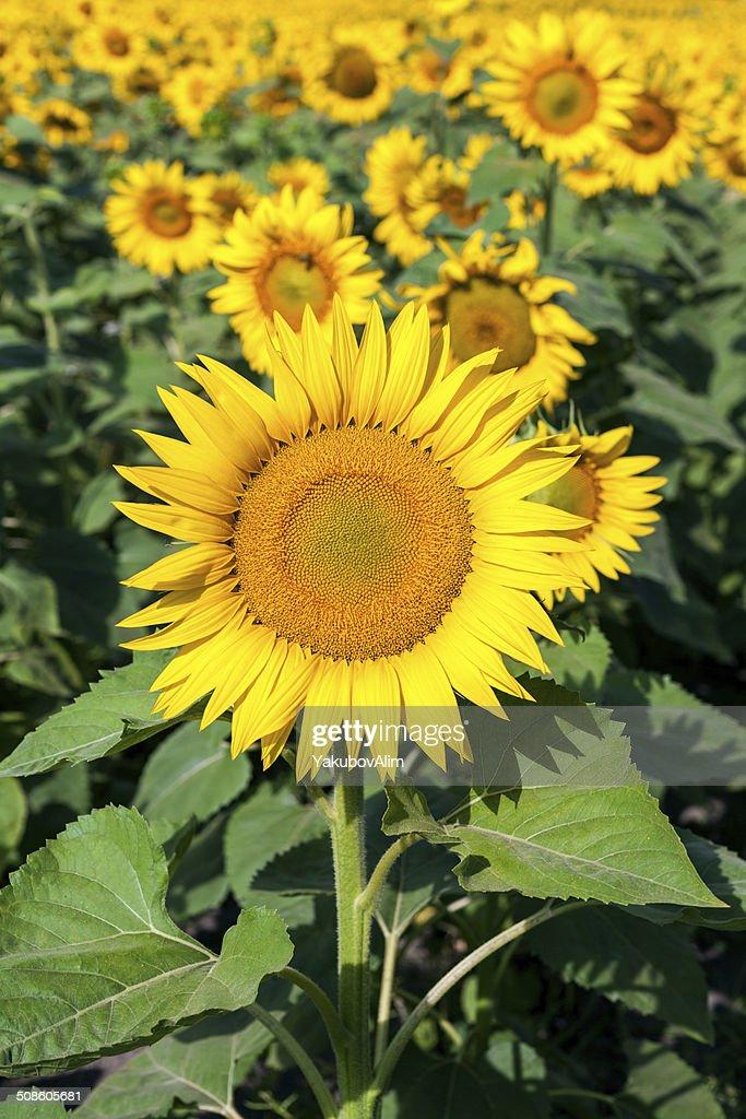 Field of yellow sunflowers : Stock Photo