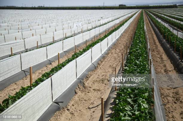 field of young bell pepper plants with shade cloth between rows - timothy hearsum stock pictures, royalty-free photos & images