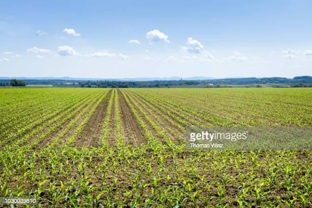 field of young corn plants - mais gemüse stock-fotos und bilder