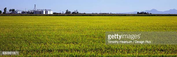 a field of young rice is seen in early fall with grain elevators, mountains and blue sky in the background, central valley - timothy hearsum bildbanksfoton och bilder