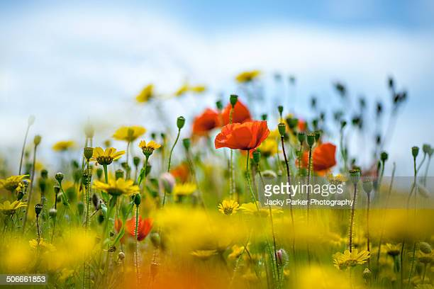 Field poppy flowers and Corn Marigolds