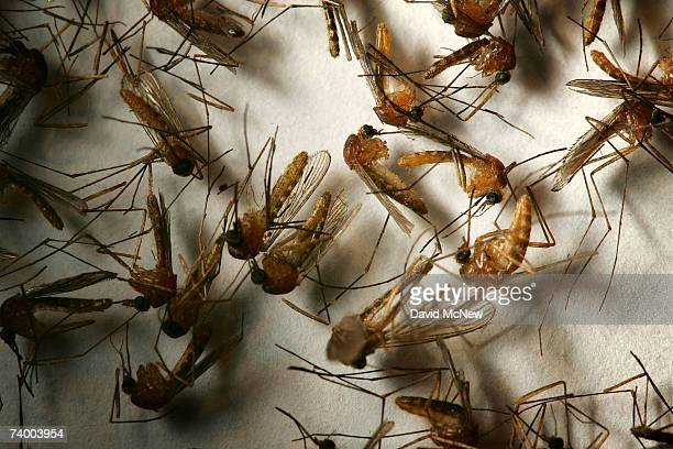 A field sample of mosquitoes that could carry West Nile Virus is seen at offices of the Riverside County Department of Environmental Health on April...