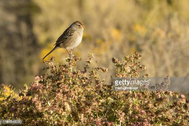 field sparrow perches desert shrub bisti de-na-zin wilderness new mexico - milehightraveler stock pictures, royalty-free photos & images
